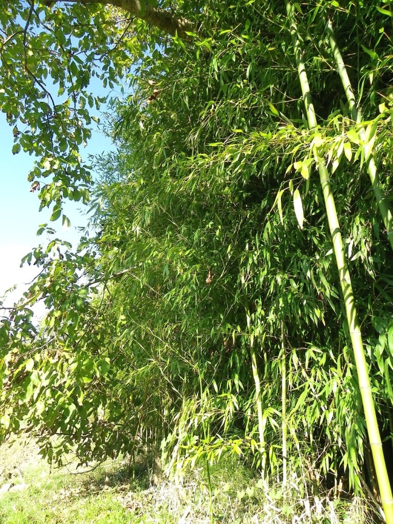 quoi fabriquer avec des bambous fabulous bambous jeunes with quoi fabriquer avec des bambous. Black Bedroom Furniture Sets. Home Design Ideas